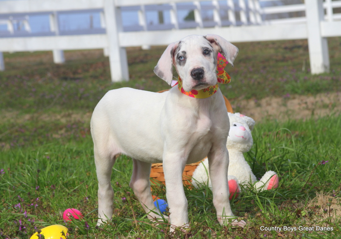 Country Boys Great Danes - CountryBoysGreatDanes :: AKC